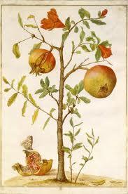 Merian Maria pomegranate